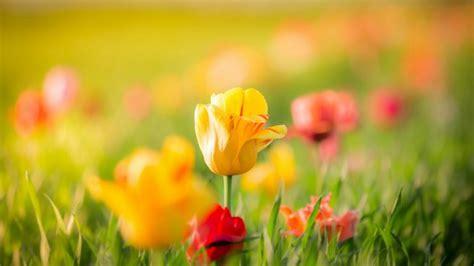 tulipanes flores amarillas  rojas fondos de pantalla hd