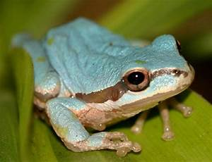 This rare blue-colored tree frog is among the reptiles and ...