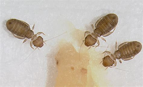 book lice blog facts about book lice