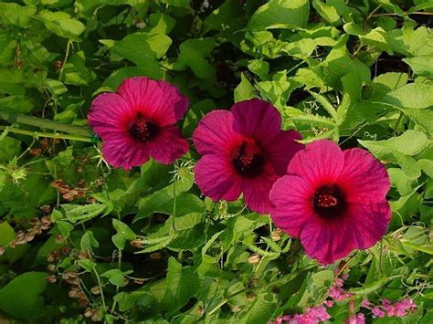 Hibiscus Species, Kenaf, Brown Indian
