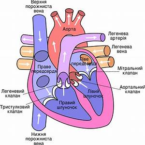File Diagram Of The Human Heart  Cropped  Ukrainian Svg