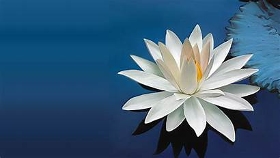 Lotus Flower Wallpapers Nature Wallpapertag Amazing Mobile