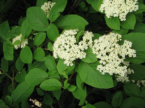 Image result for viburnum lantana