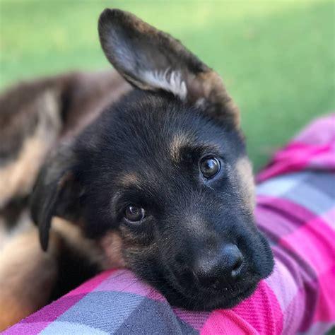 16 Cute German Shepherd Dogs & Puppies