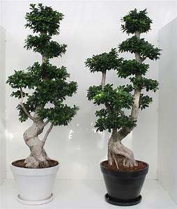 Bonsai Ficus Ginseng : bonsai ficus ginseng 200 cm ceramic pot succulents cactus and bonsai florpagano di antonio ~ Buech-reservation.com Haus und Dekorationen