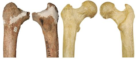Tulang Gigitan Hip Bone bone suggests deer cave a mysterious species