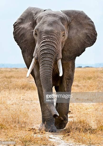 african elephant stock   pictures getty images