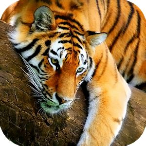 3d Animated Tiger Wallpapers - tiger 3d live wallpaper android apps on play