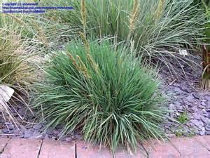 plantfiles pictures large blue june grass large blue hair grass koeleria glauca 1 by stevenova