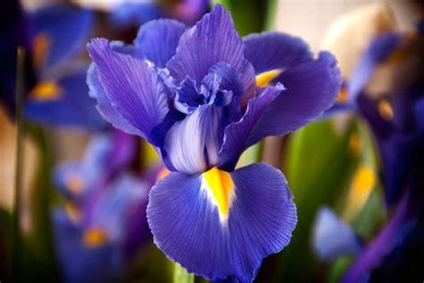 iris il fiore della fiducia dell amicizia e della speranza