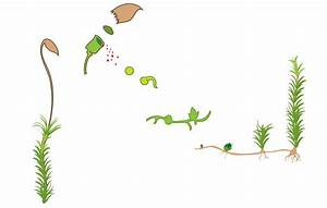 File Asexual Reproduction Moss Svg Diagram Nolabels Svg