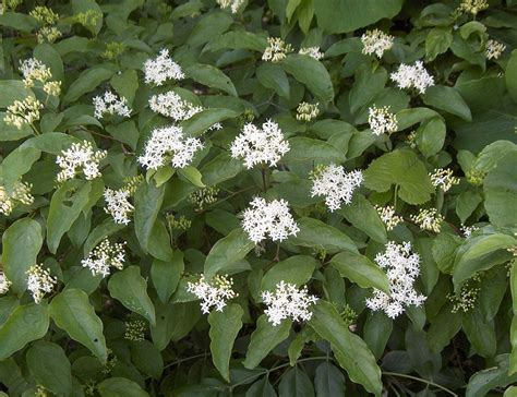 dogwood bush cornus drummondii wikipedia