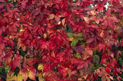 How To Get Red Foliage  Why Foliage Doesn't Turn In