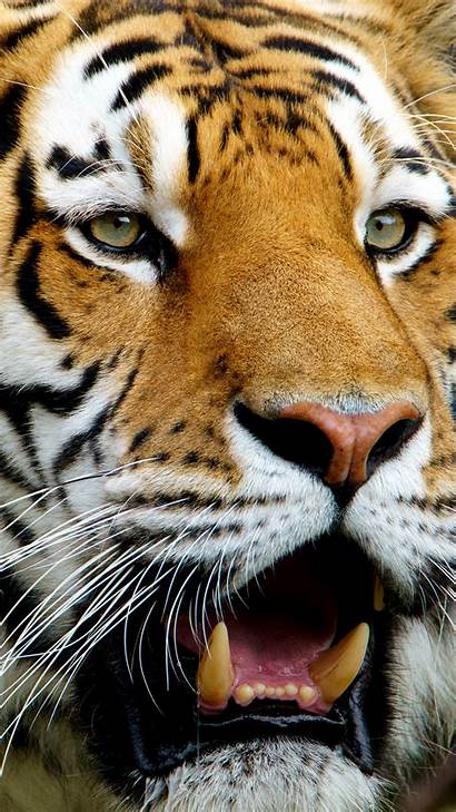 Tiger Galaxy Samsung S7 Wallpapers Yopriceville Clip