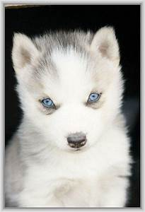 Baby Husky Wallpapers images