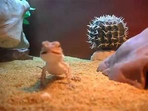 Baby Bearded Dragon | Eating Black Crickets - YouTube