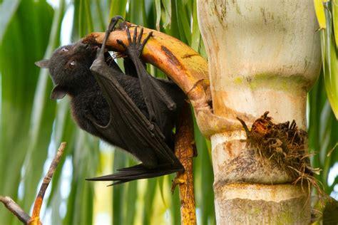 flying fox palm tree bats bat diet eating australia ugly cute science virus rodents animals nipah too less urban wildlife
