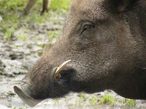 Americans Are Hunting Wild Pigs Now