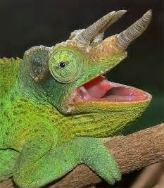Chameleon Lizards Mouth Open