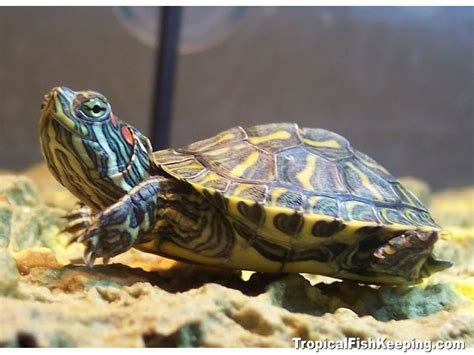 eared slider turtles red eared slider turtles aquarium lovers