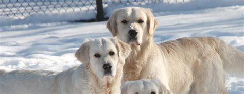 golden retriever club  canada dedicated  education