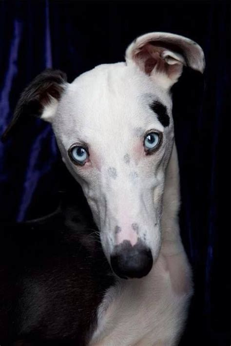 blue eyes greyhounds dogs grey hound dog whippet dog