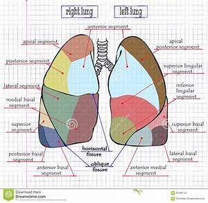 Drawing Section Of Human Lung Stock Vector