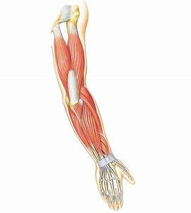 Arm Muscles Diagrams