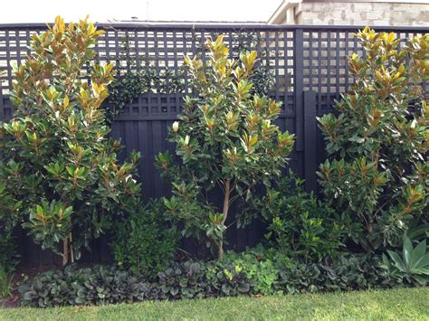 outdoor privacy screens for yards gem magnolia trees as feature screen planting
