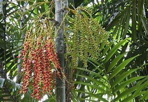 Pflanztopf Für Palmen : palmen f r den wintergarten eine auswahl zimmerpflanzen ~ Lizthompson.info Haus und Dekorationen