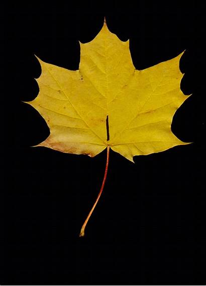 Leaf Autumn Leaves Fall Animated Traceloops Care