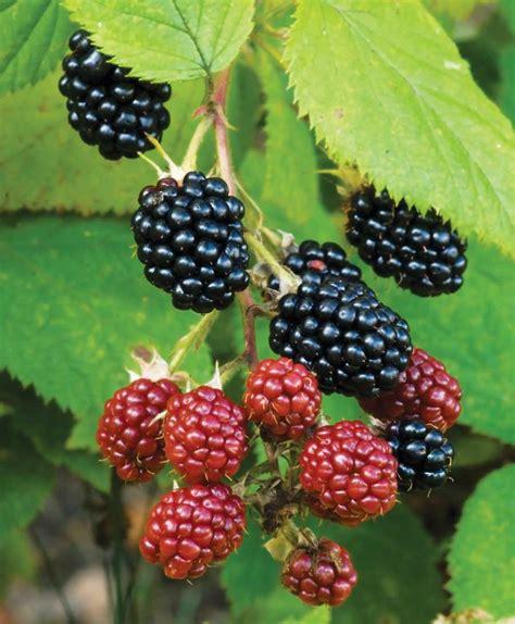 fresh blackberries urban farms springing up in maine