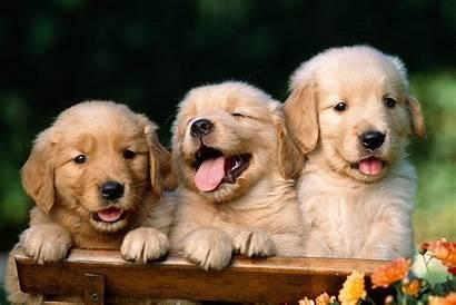 Puppies Puppy Golden Retriever Desktop Wallpapers Funny