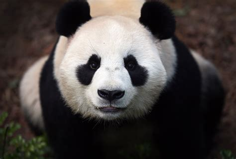 panda animal eyes china wild bears animals zoo 1342 nature resolution wallpapers