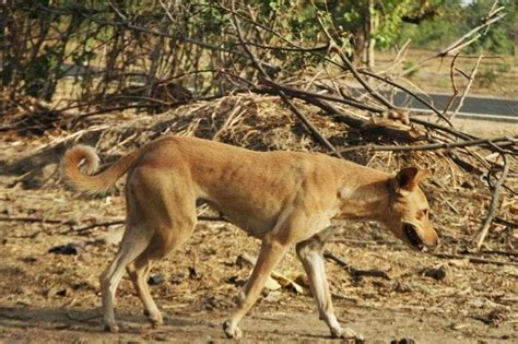 pariah dogs  ancient  wild dog breeds canine wild