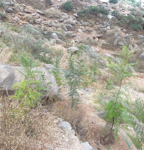 what to plant on a hillside to erosion erosion control by gravillea on overgrazed hillsides in axum ethiopia