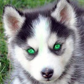 The gallery for --> Black Husky Puppies With Blue Eyes