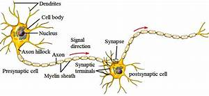 The Structure Of A Typical Neuron  18