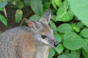 A cute Wallaby – Nature