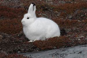 Arctic Hare - Pictures, Diet, Breeding, Life Cycle, Facts ...