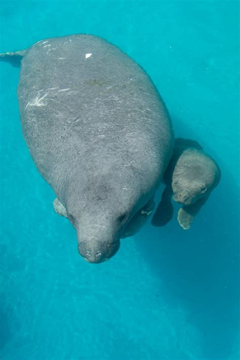 White Wolf Rescued Manatee Gives Birth To Healthy Calf