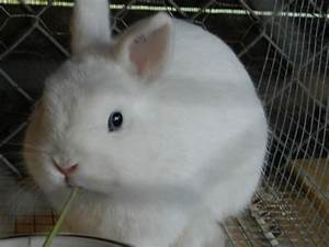 Blue Netherland Dwarf Rabbit (page 2) - Pics about space