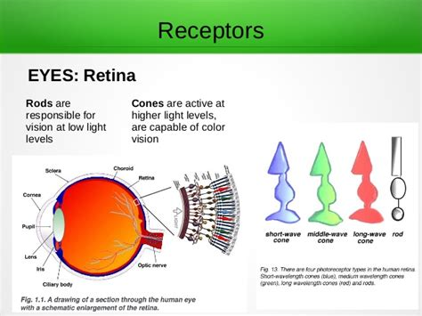 receptor cells in the retina responsible for color vision