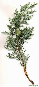 Blumenarten Az Mit Bild : arizona zypresse cupressus arizonica zweig mit zapfen bestimmen arizona zypresse ~ Whattoseeinmadrid.com Haus und Dekorationen