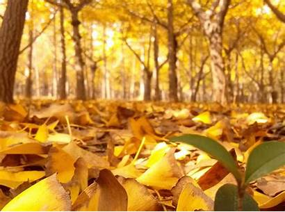 Ginkgo Golden Leaves Autumn Trees Yellow Colors