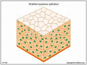 Stratified Squamous Epithelium Illustrations