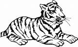 Tiger Coloring Pages Animals Cub Resting sketch template