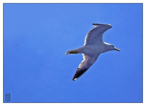 Gabbiano Jonathan Livingston by Gabbiano