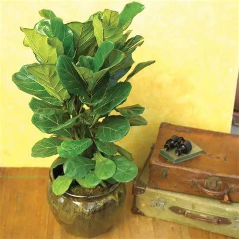 室內觀葉植物新寵——琴葉榕 每日頭條