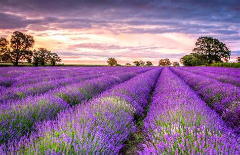 Bilder Mit Lavendel by Lavender Wallpapers High Quality Free